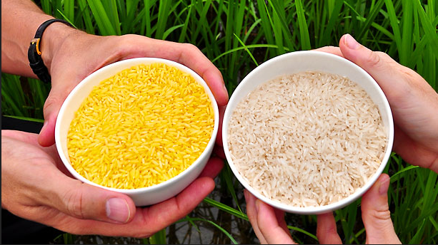 GMO Golden Rice on the left.  Non-GMO rice on the right.