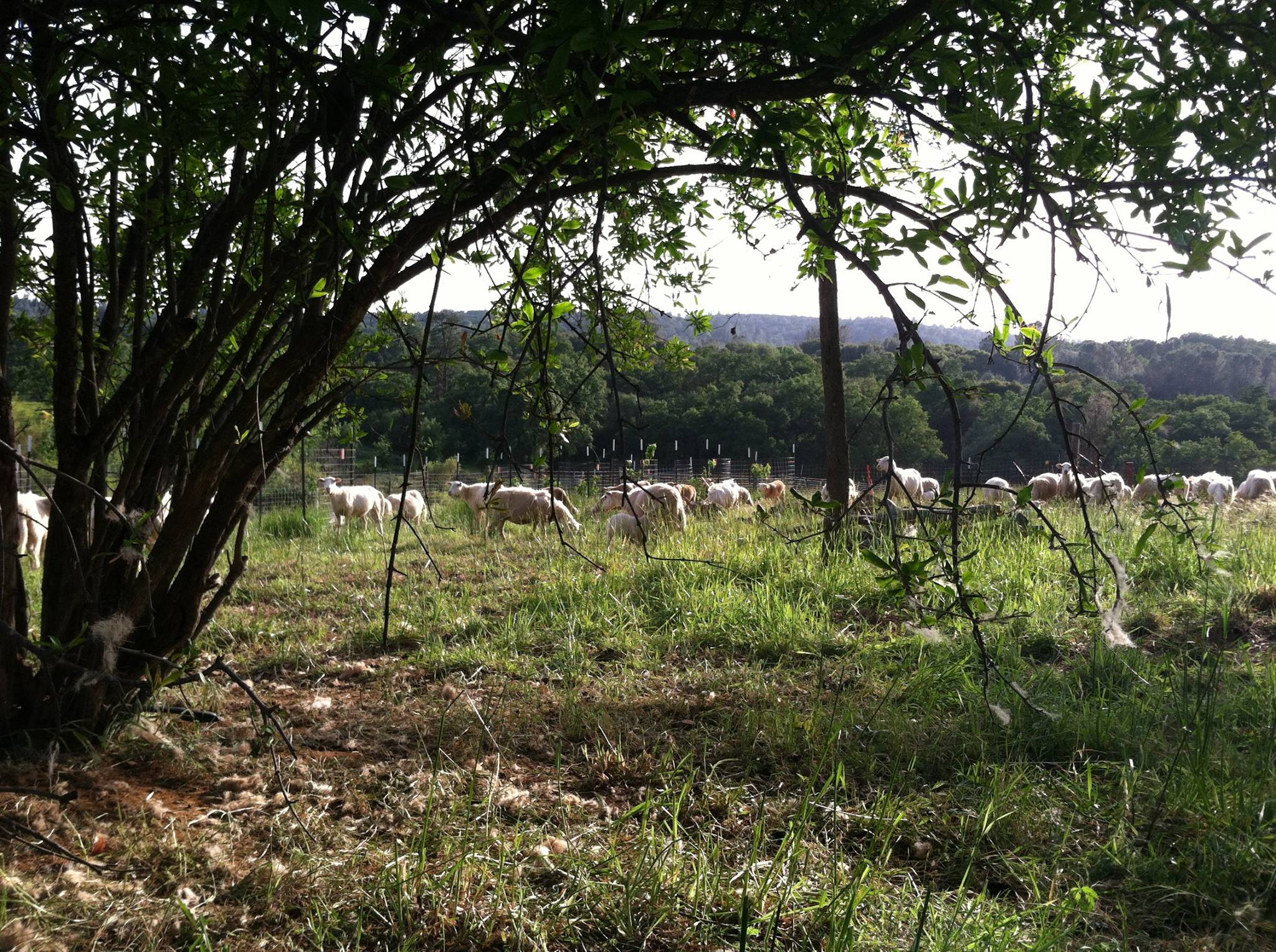 Grazing sheep, Fowler Family Farm