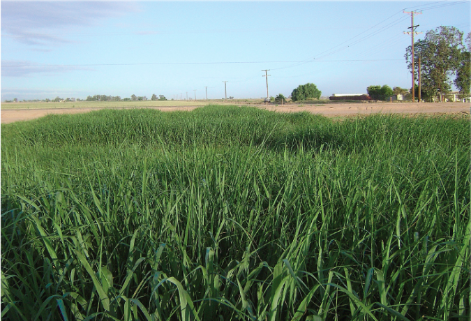 Switchgrass used primarily as a forage crop and groundcover
